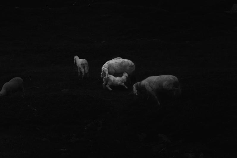 sheep - 2013