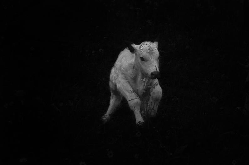 calf - 2013