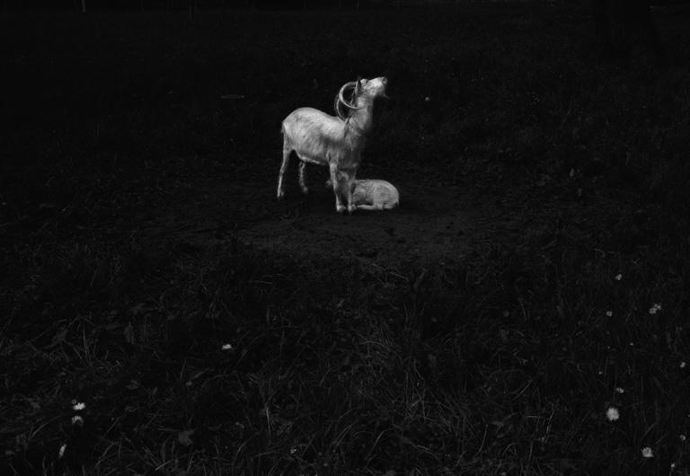 goats, maternity - 2014