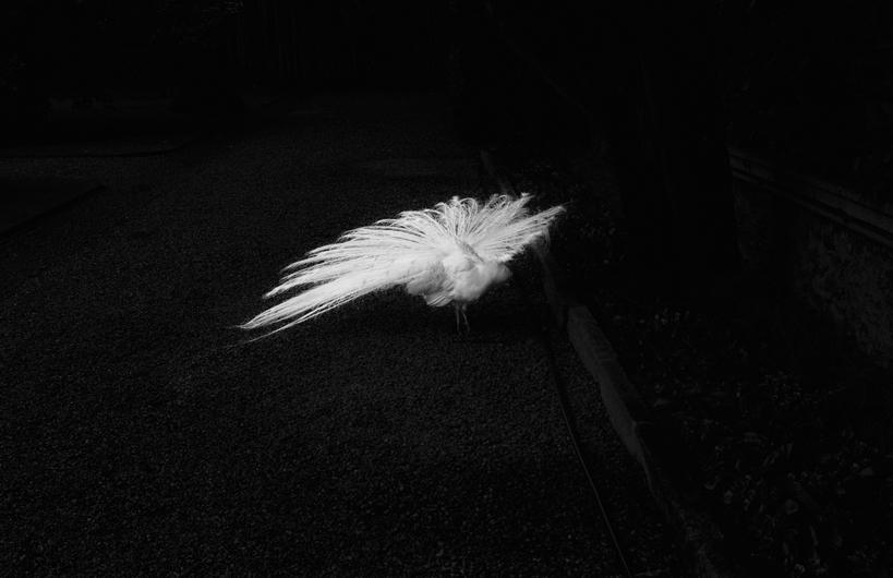 pavone bianco, ruota - 2013