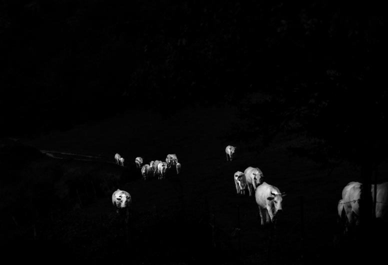 mucche - 2002